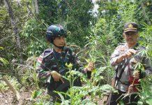 Caption - Kapolsek Waris Iptu Sultan bersama Danpos Kali Mo Satgas Yonif 509 Infanteri Letda Wanianto saat menunjukan pohon daun Ganja di Kampung Kali Mo, Distrik Waris, Kab Keerom, Selasa (21/01/2020).