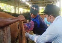 Caption : Pemkab Keerom Genjot Program Inseminasi Buatan untuk ternak Sapi kawin suntik atau Inseminasi Buatan (IB) bersama petugas di di Arso V, Rabu (05/08/2020).